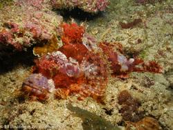 BD-060411-Moalboal-4100899-Scorpaenopsis-oxycephala-(Bleeker.-1849)-[Caledonian-devilfish].jpg
